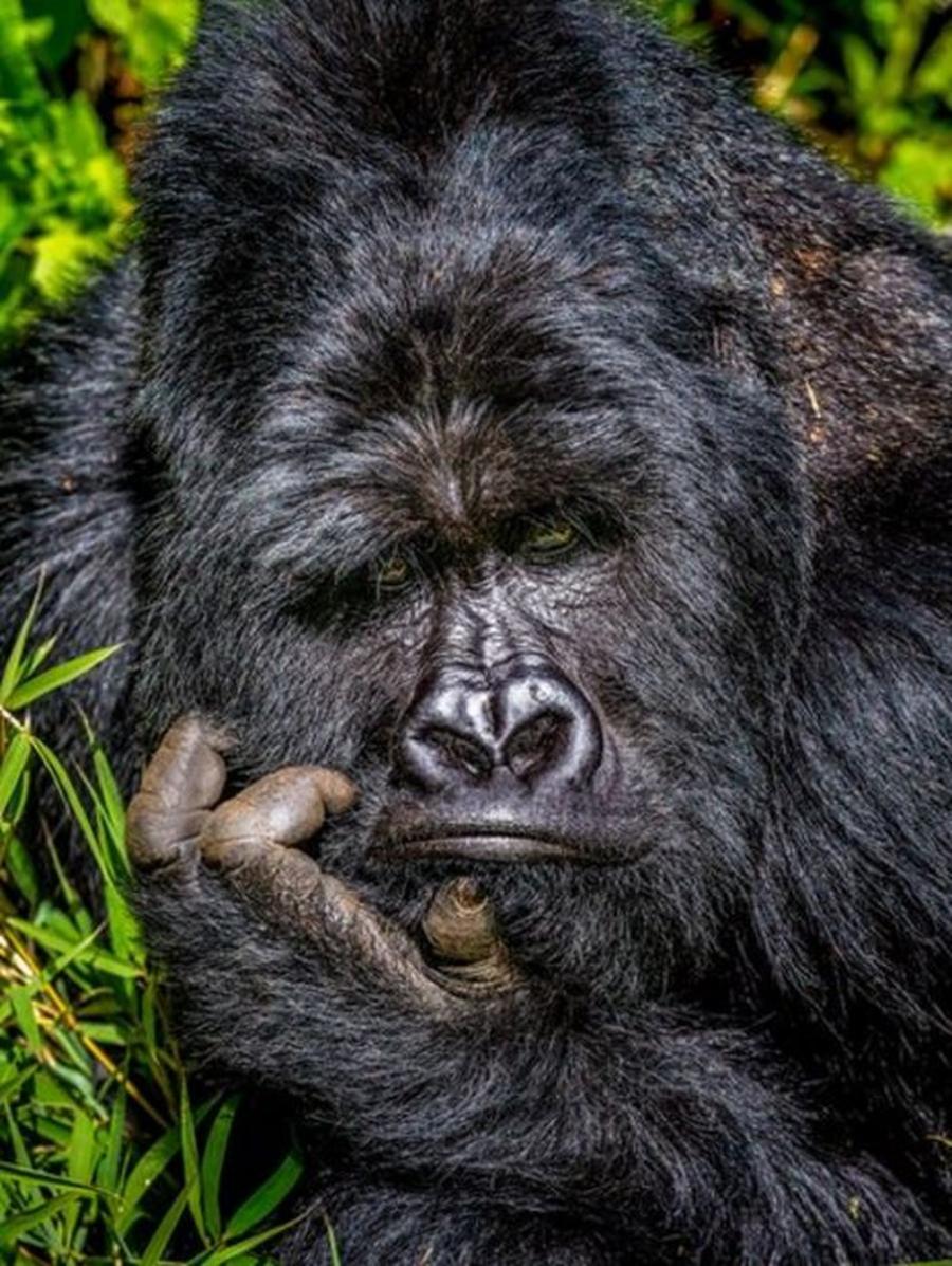 'Entediado', este gorila foi retratado no Parque Nacional de Uganda — Foto: MARCUS WESTBERG/COMEDY WILDLIFE PHOTOGRAPHY AWARDS via BBC