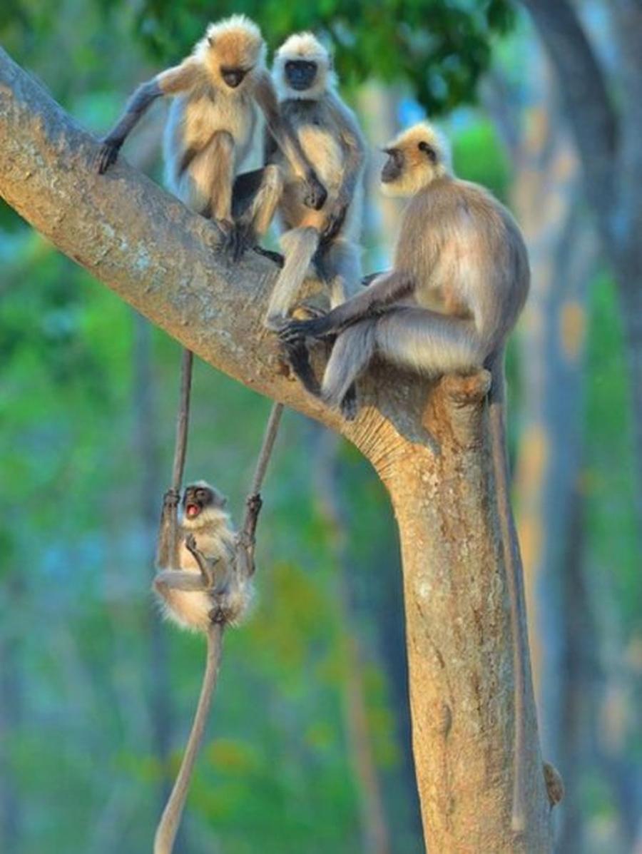 Um jovem langures (semnopithecus) se diverte perto da família. Foto tirada na Índia — Foto: THOMAS VIJAYAN/COMEDY WILDLIFE PHOTOGRAPHY AWARDS via BBC