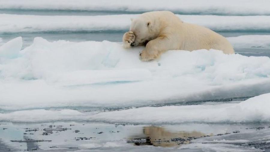 Este urso polar de Spitzberg, na Noruega, parece lamentar o ano de 2020 — Foto: JACQUES POULARD/COMEDY WILDLIFE PHOTOGRAPHY AWARDS via BBC