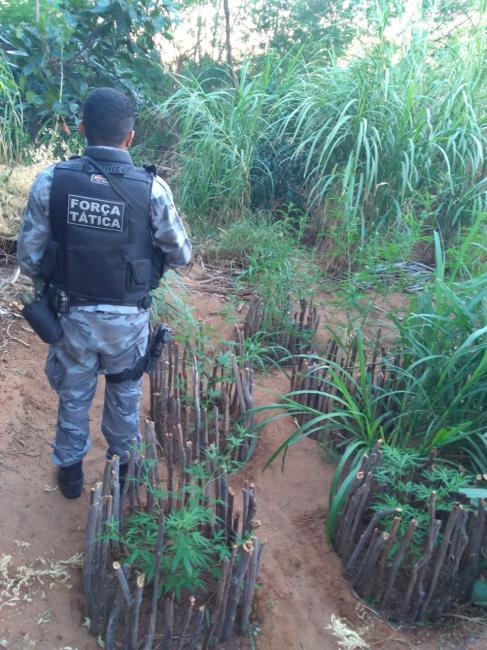 Polícia Militar desarticula plantação de maconha no interior do Piauí