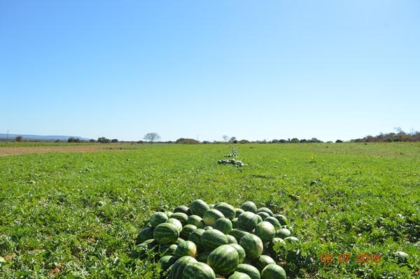 Mais uma colheita de melancia do Genival em Colônia do Gurgueia-PI