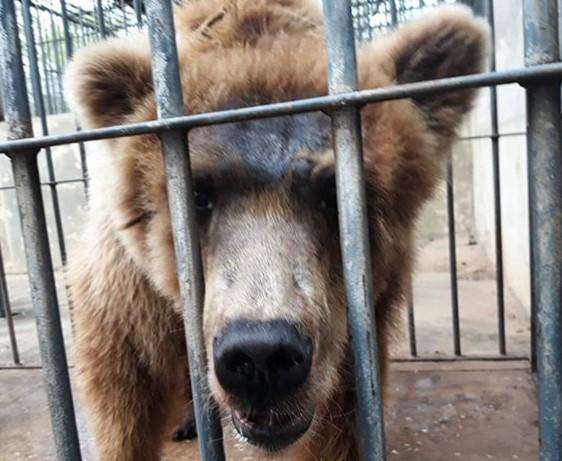 Ursa Marsha é retirada do Zoobotânico e segue para SP