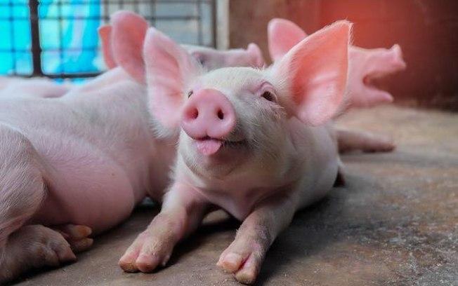 Governo confirma segundo foco de peste suína no Piauí