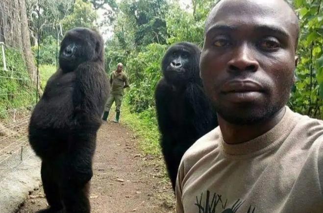 Gorilas posam para selfie com guarda florestal na África