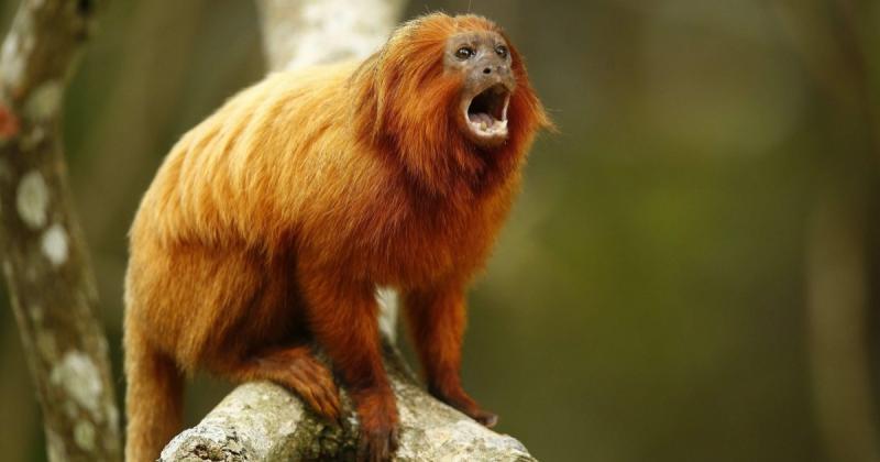 Foto: Mico-leão-dourado - Reprodução/Animais em extinção