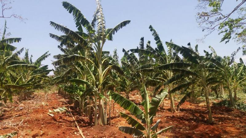 Prefeito de Morro Cabeça do Tempo visita plantações de frutas e hortaliças