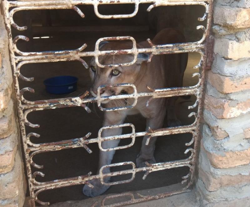 Polícia resgata animais vítimas de maus-tratos; onça teve presas extraídas