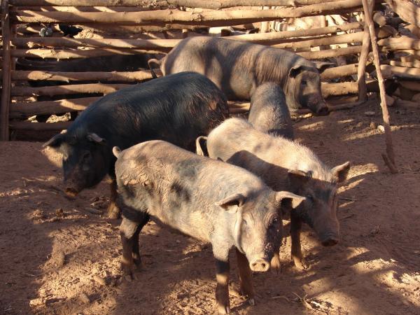 Confirmado o 5º foco da peste suína clássica em Cabeceiras