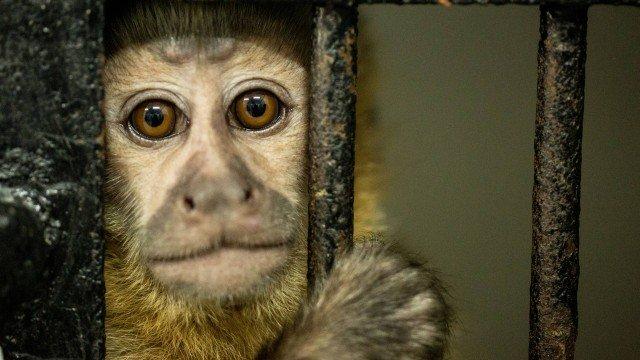 Macacos estão matando humanos e governo cogita esterilização