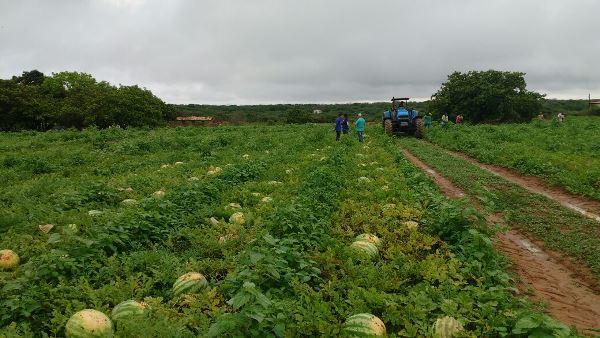 Colheita de melancia em Colônia do Gurguéia-PI