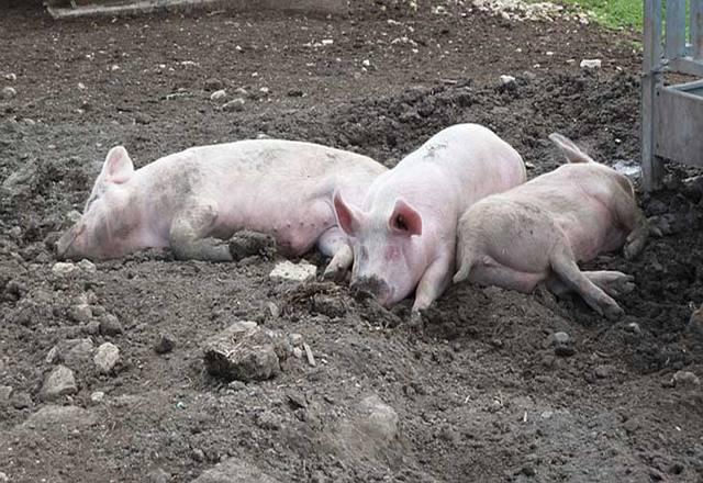 Adapi constata mais um foco de peste suína no interior do Piauí