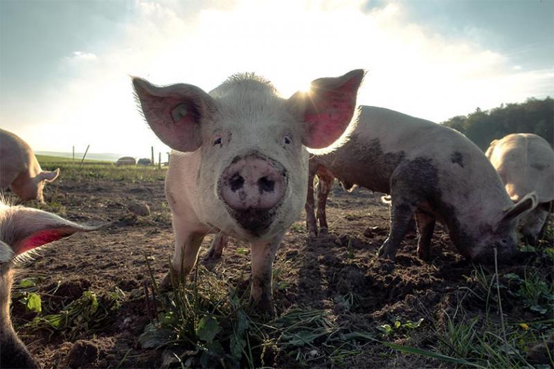 MP abre inquérito para apurar casos de peste suína em Cabeceiras