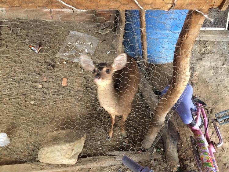Filhote de veado e pássaros silvestres são apreendidos no PI