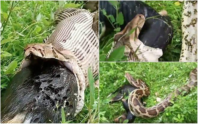 Cobra de 4 m vomita cão vira-lata inteiro em registro aterrorizante