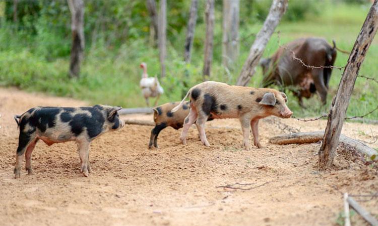 Peste suína gera indenização para produtores de Brasileira