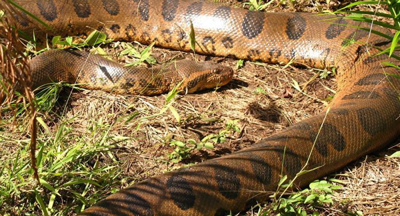 Sucuri mata jacaré em luta acirrada na Amazônia; veja fotos