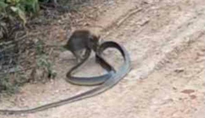 Sem medo, rato devora cobra venenosa e viraliza na internet
