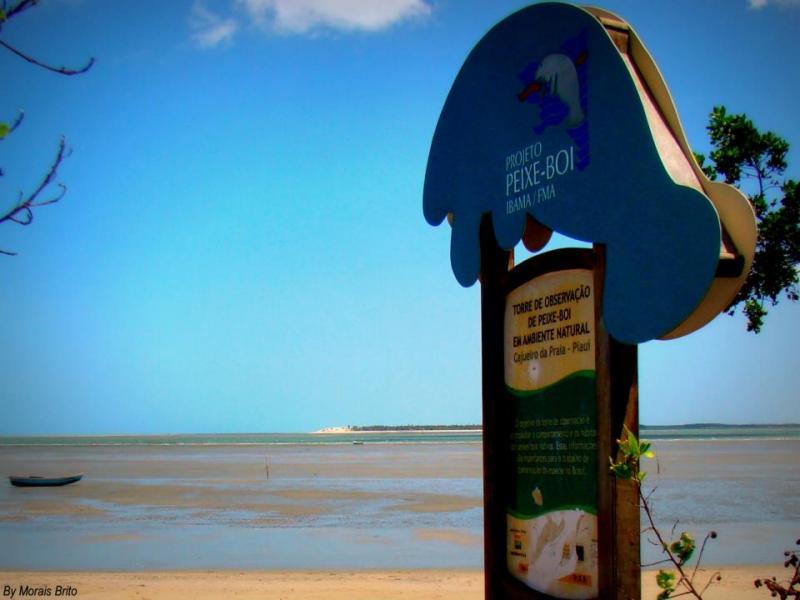 Comida do peixe-boi em Cajueiro da Praia está contaminada com óleo