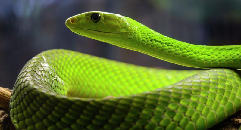 Vídeo: Cobra venenosa se agarra a pescoço de trabalhador