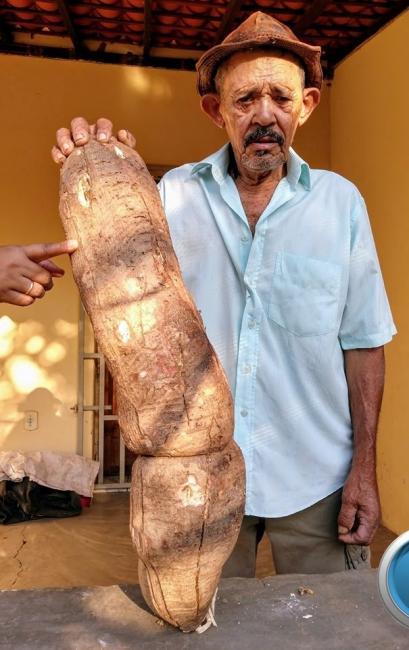 Agricultor colhe raiz gigante de 14 kg em cidade do Piauí