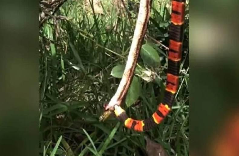 Vídeo mostra cobra devorando outra até ser interrompida por vespa