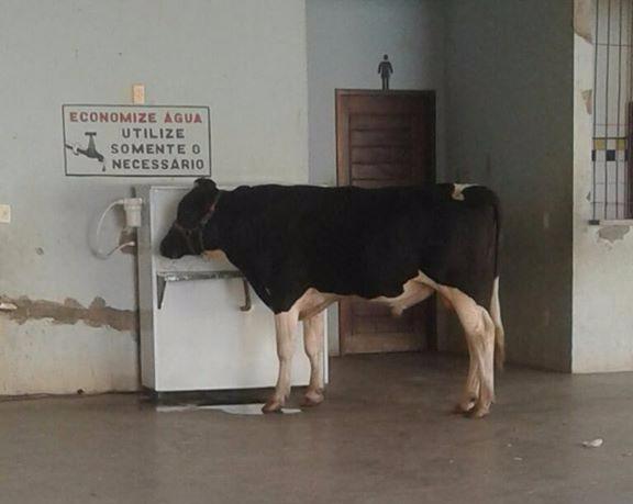 Vaca é flagrada tomando água em bebedouro de escola