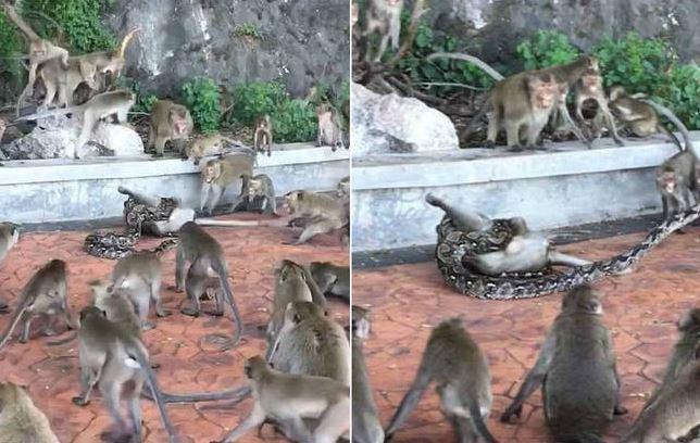 Píton estrangula macaco enquanto bando tenta salvá-lo