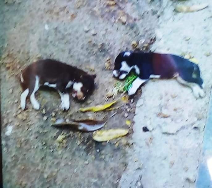 Cobra mata filhotes de cachorro em residência em Batalha