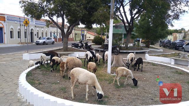 Valença | Animais pastam tranquilamente pelas praças da cidade