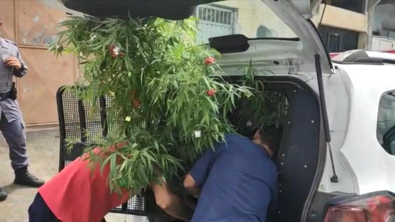 Polícia apreende Árvore de Natal de maconha em residência