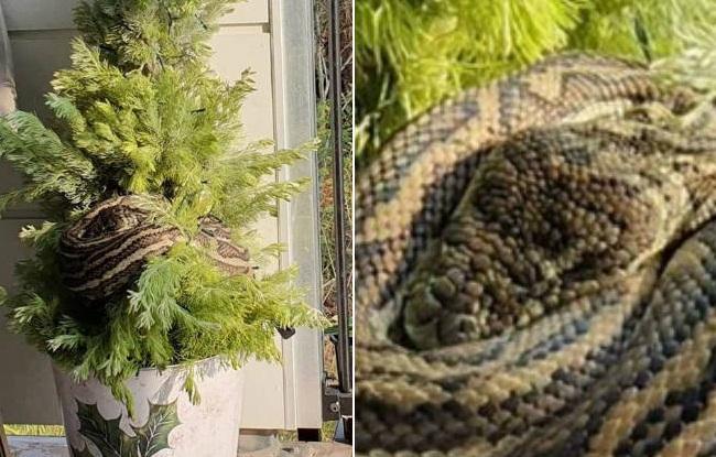Moradora encontra cobra gigante enrolada em árvore de natal