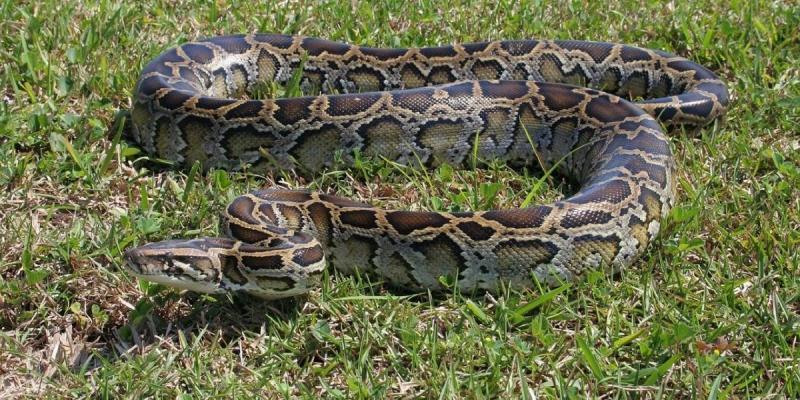 Homem confunde cobra gigante com pedaço de pau e sofre ataque