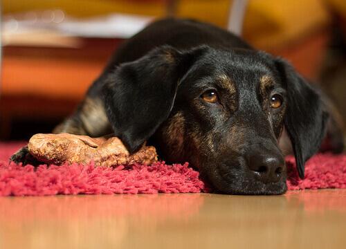 Saiba quais são as 9 causas de vômitos em cães