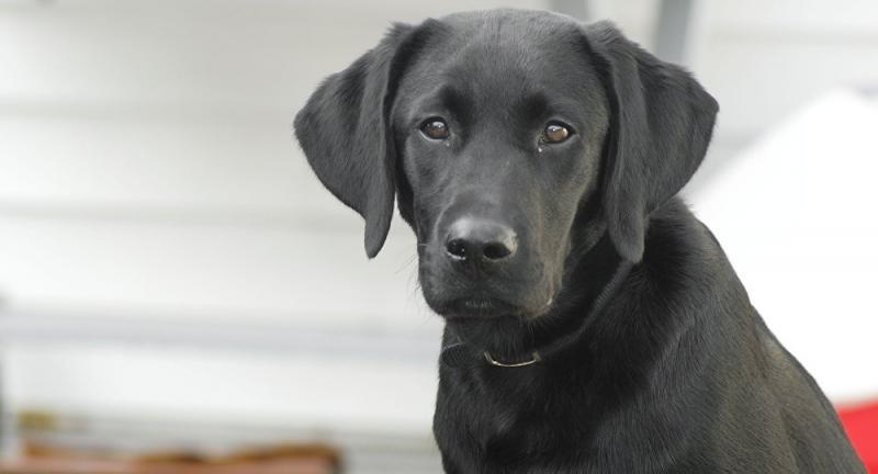 Cachorros despedaçam cobra venenosa e salvam dono; vídeo