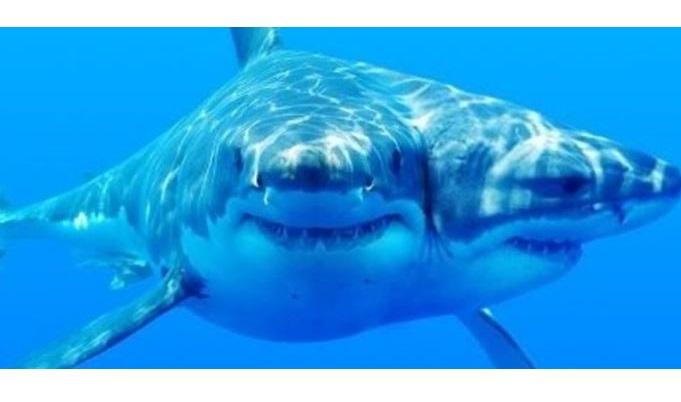Tubarão de duas cabeças extremamente raro é descoberto por cientistas