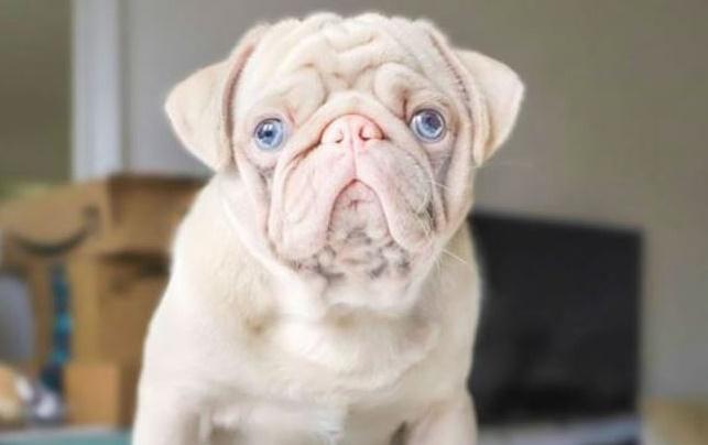 Conheça Milkshake, o pug albino que tem pelo rosa e olhos azuis