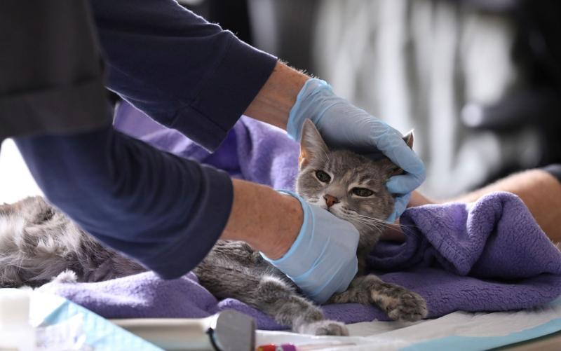 A gata Ivy, de 8 anos, é examinada por veterinária em Manhattan, Nova York, no dia 31 de março — Foto: Reprodução/Reuters