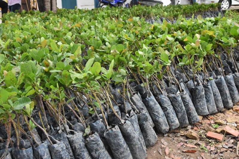 SDR define distribuição de mudas de caju anão-precoce para o pequeno produtor rural de Floriano