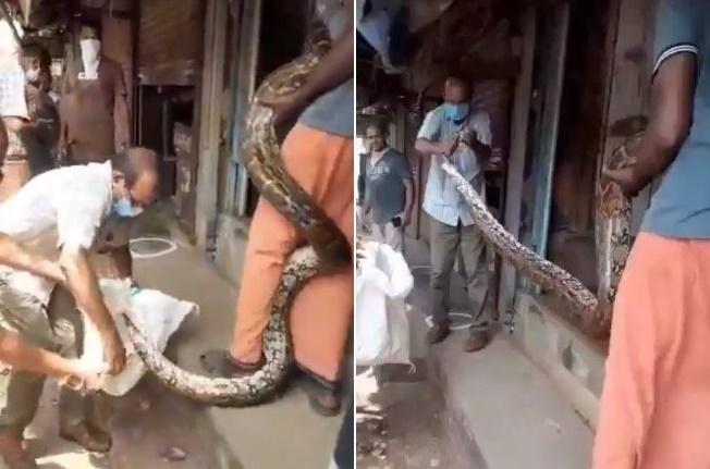 Serpente gigante aproveita lockdown para desovar em joalheria