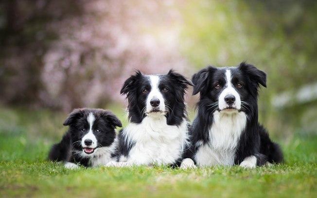Raças de cachorro: veja como as mais inteligentes são classificadas