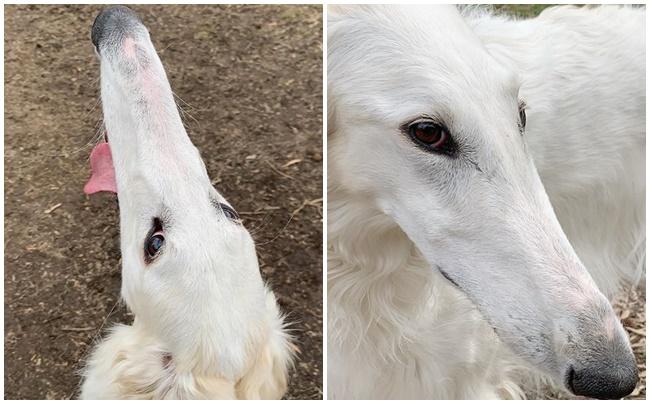 Cadela da raça borzoi tem o maior nariz do mundo