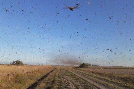 Praga de gafanhotos em fronteira deixa Brasil em alerta
