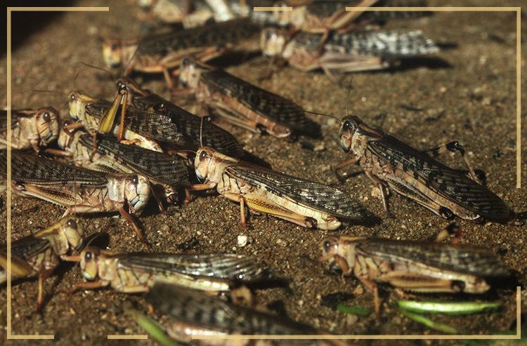 Confira dez surtos animais que parecem pragas bíblicas