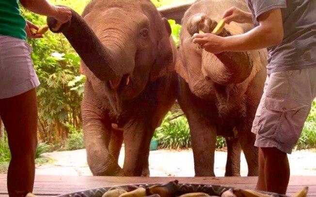 Efeitos da pandemia: sem turistas, elefantes morrem de fome na Ásia
