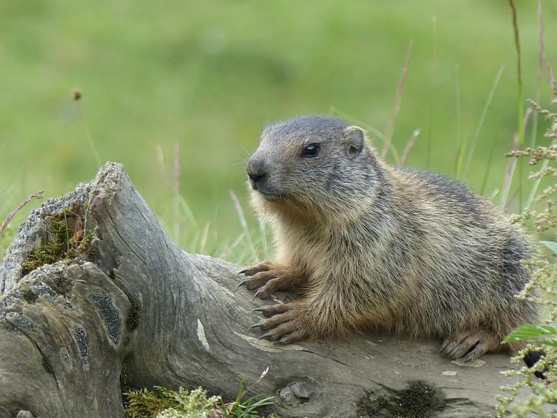 Consumo de carne de marmota leva a casos de peste bubônica na Mongólia