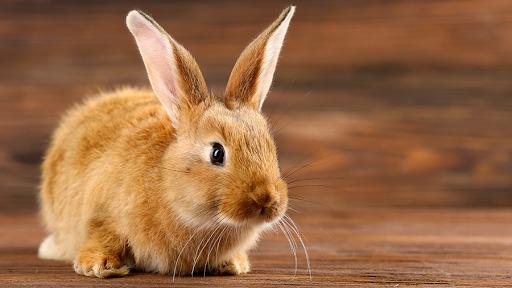 Coelho como pet: Veterinária tira oito dúvidas sobre o animal