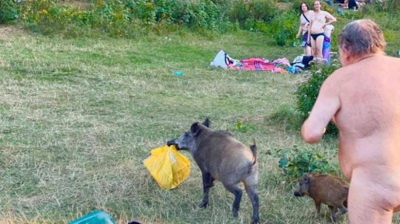 Javali rouba notebook e homem nu corre atrás do animal em público