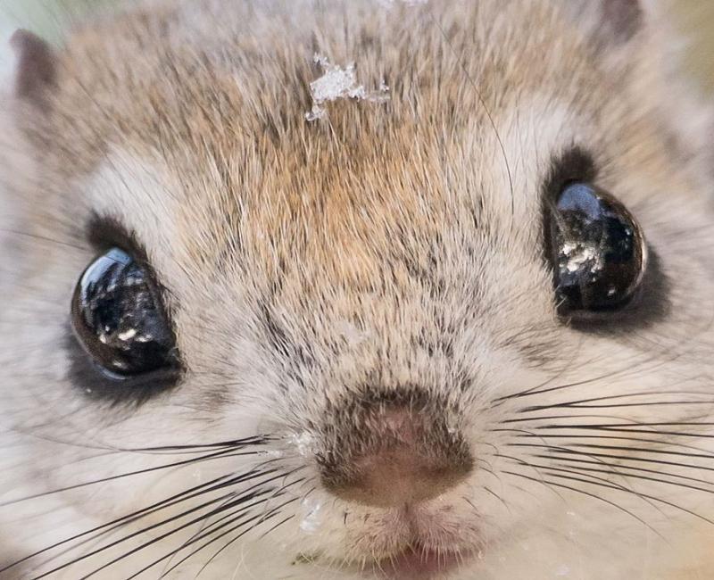 Conheça o esquilo-voador-anão-japonês que parece um pokémon
