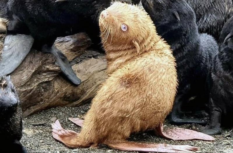 Filhote de foca nasce 'ruivo' e com olhos azuis