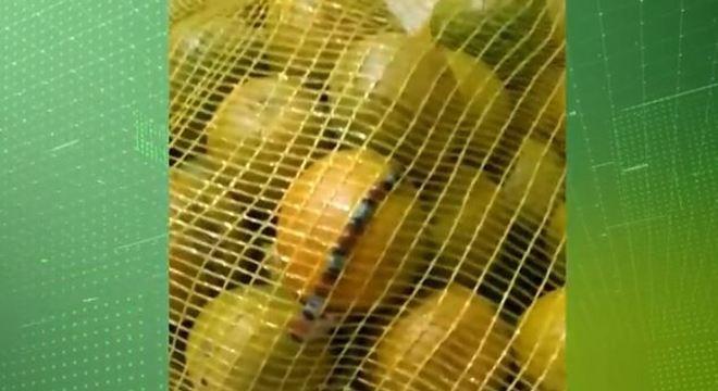 Mulher encontra cobra coral em saco de laranjas comprado em 'atacadão'